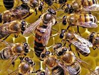 تحقیق زهر زنبور عسل، روشهای جداسازی و مصارف دارویی آن 56 ص